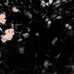 樺太特産 高山植物 フレツプの花